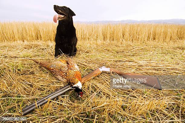Black Labrador retriever sitting beside shotgun and dead pheasant