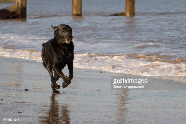 Black Labrador running on beach, Cromer, Norfolk, England, UK