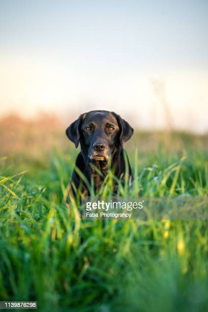 black labrador sitting in grass - black labrador stock pictures, royalty-free photos & images