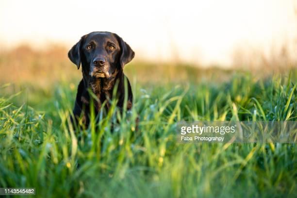 black labrador sitting in grass - labrador noir photos et images de collection