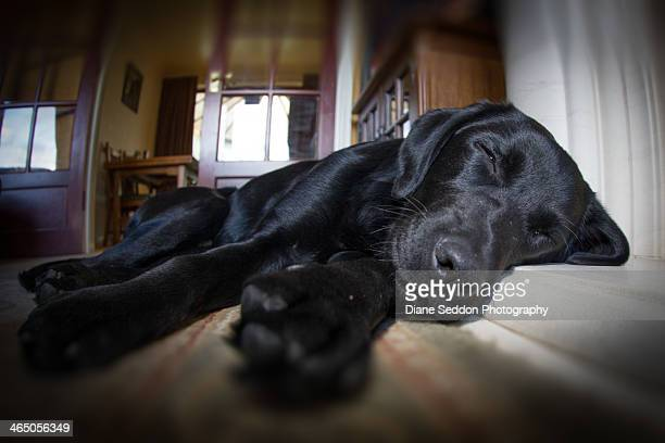 Black Labrador sleeping in a domestic home