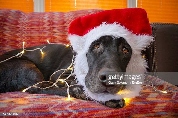 Black Labrador Wearing Santa Hat Resting On Couch During Christmas
