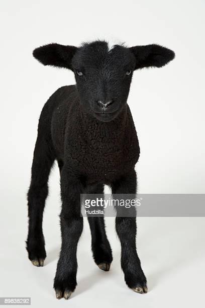Black lamb, studio shot