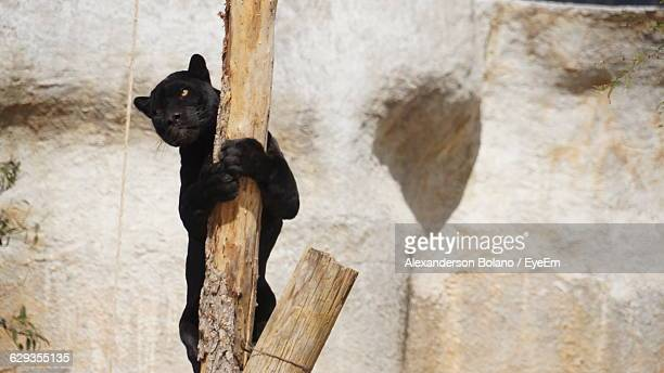 Black Leopard Climbing On Wooden Post Against Wall