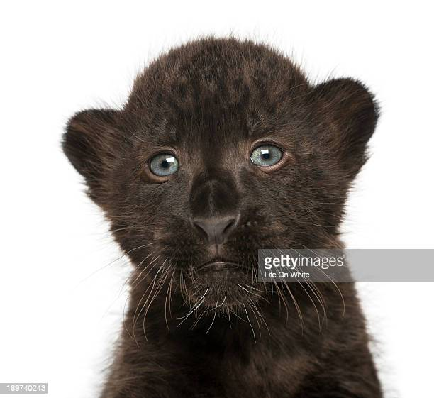 black leopard cub - black panther face stock photos and pictures