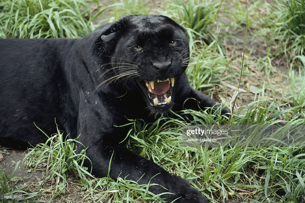 A black leopard growls at the camera. : Stockfoto