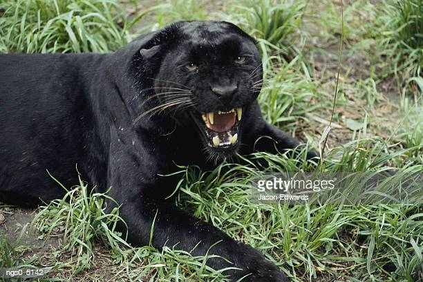 A black leopard growls at the camera.
