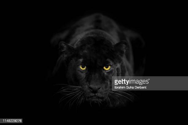 a black leopard in a close-up, looking towards camera with its beautiful eyes - carnivora fotografías e imágenes de stock