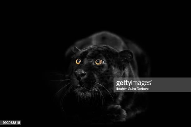 Black leopard is looking surprised