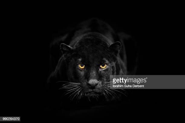 2 361 Black Leopard Photos And Premium High Res Pictures Getty Images