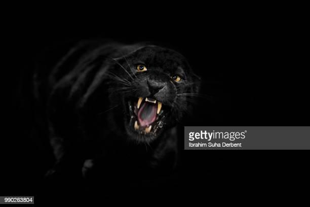 Black leopard is roaring