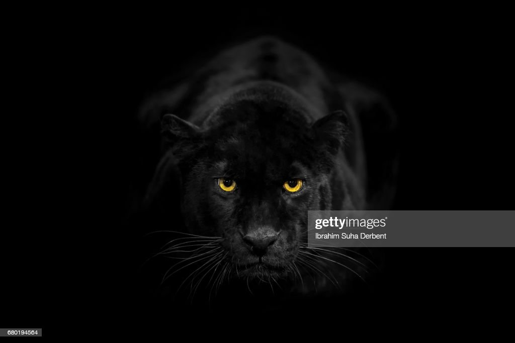 Black leopard looking to the camera angrily : Stock Photo