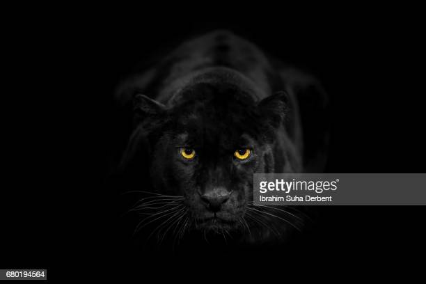 black leopard looking to the camera angrily - jaguar stock photos and pictures