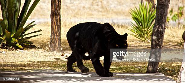 Black Leopard On Field