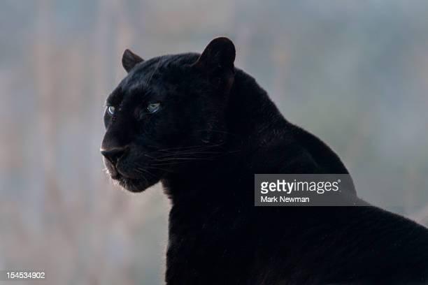 black leopard (panthera pardus) - black leopard stock pictures, royalty-free photos & images