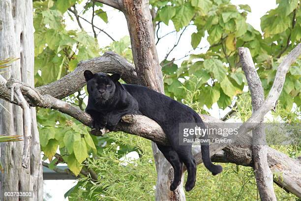 black leopard sitting on tree branch - black leopard stock pictures, royalty-free photos & images