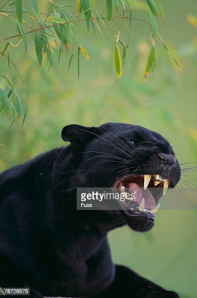 black leopard snarling - black leopard stock pictures, royalty-free photos & images