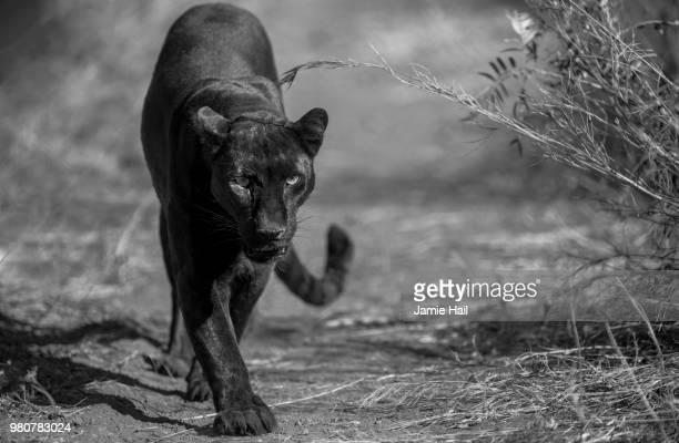 Black Leopard - Welgedacht SA