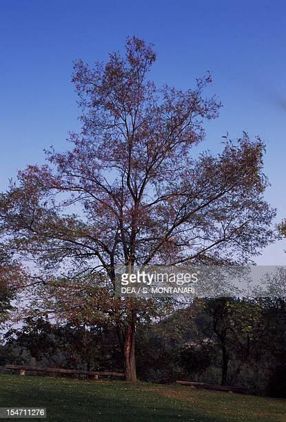 Black Locust FabaceaeLeguminosae Carne' Natural Park Brisighella EmiliaRomagna Italy