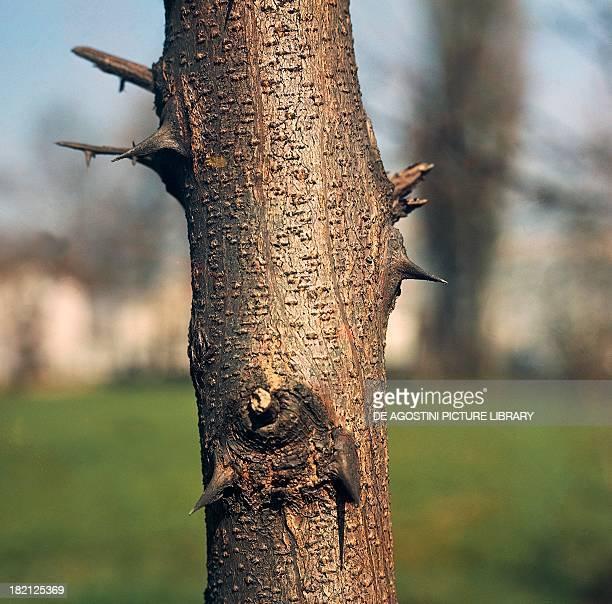 Black Locust or False Acacia bark Fabaceae Detail