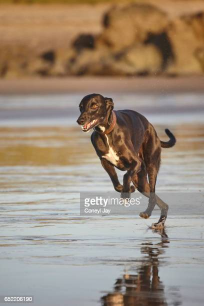 Black male three year old whippet dog on the beach running towards the camera.