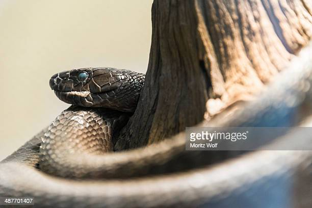 black mamba -dendroaspis polylepis-, living desert snake park, walvis bay, namibia - black mamba stock photos and pictures