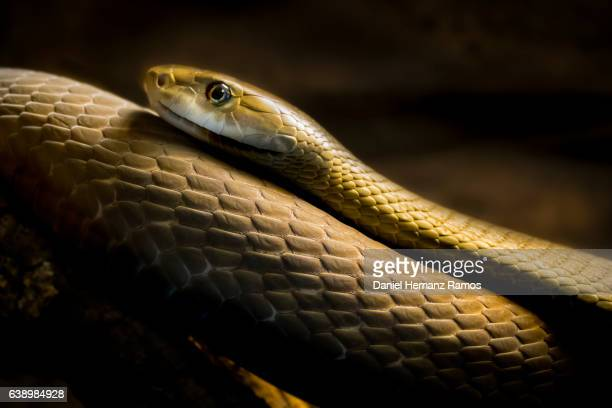 black mamba head close up side view. dendroaspis polylepis - black mamba stock photos and pictures