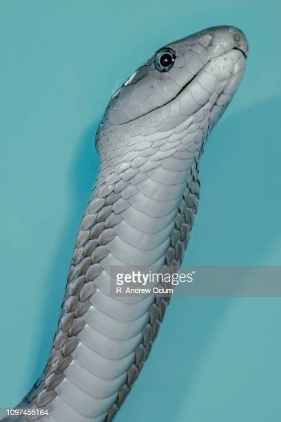 black mamba - hooded - black mamba stock photos and pictures