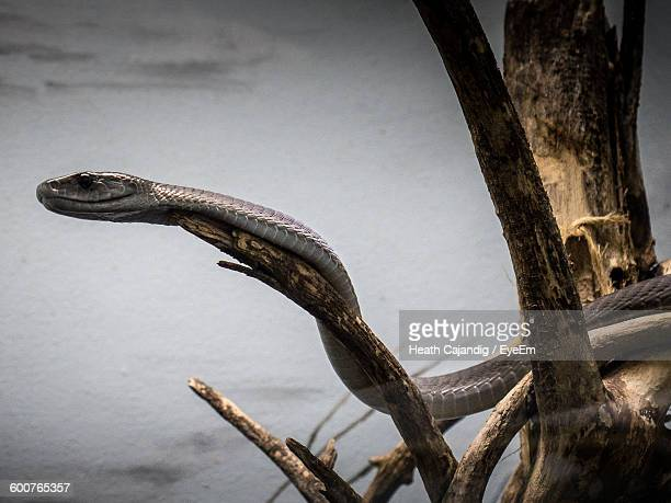 black mamba on tree - black mamba stock photos and pictures