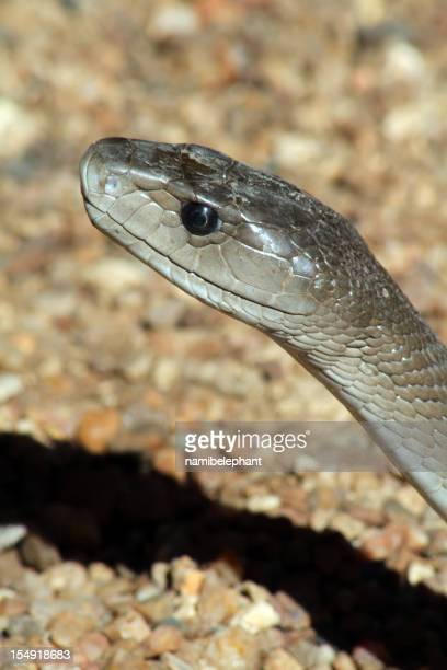 black mamba - black mamba stock photos and pictures