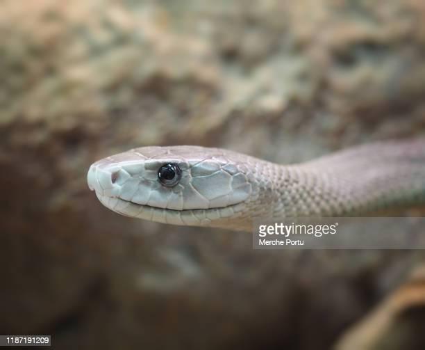 black mamba snake - mamba negra fotografías e imágenes de stock