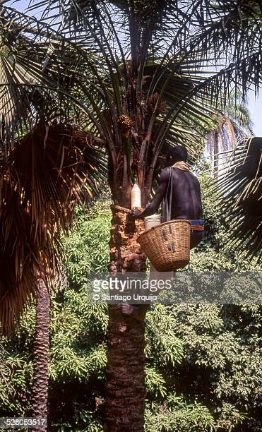 Black man extracting juice from a palm tree