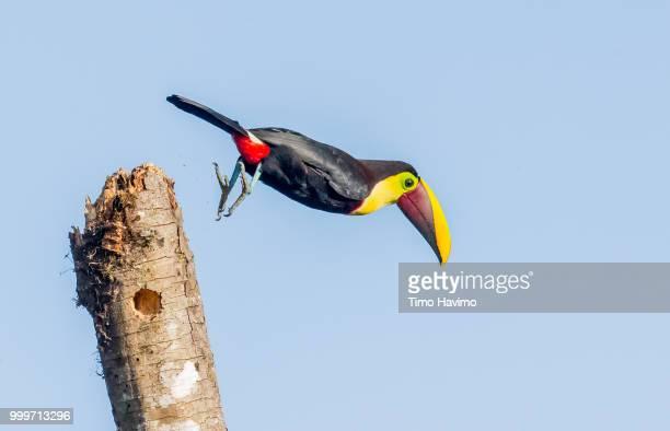 black mandibled toucan; la selva costa rica; copyright timo havimo - black mandibled toucan stock photos and pictures