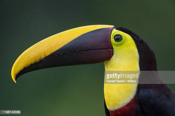 black mandibled toucan profile - black mandibled toucan stock photos and pictures