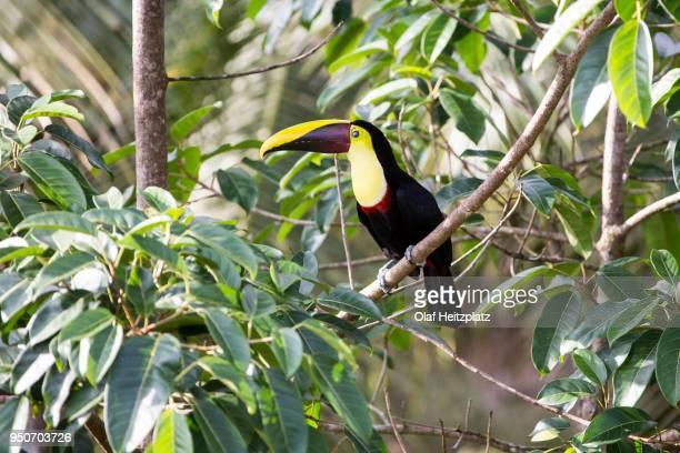 black mandibled toucan (ramphastos ambiguus), regenwald bei boca tapada, costa rica - black mandibled toucan stock photos and pictures