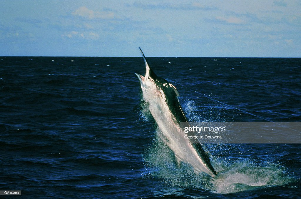Black Marlin (Makaira indica) caught on fishing line : Stock Photo
