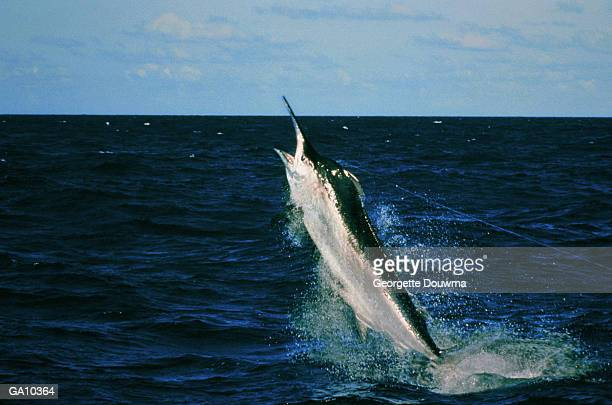 black marlin (makaira indica) caught on fishing line - marlin stock photos and pictures