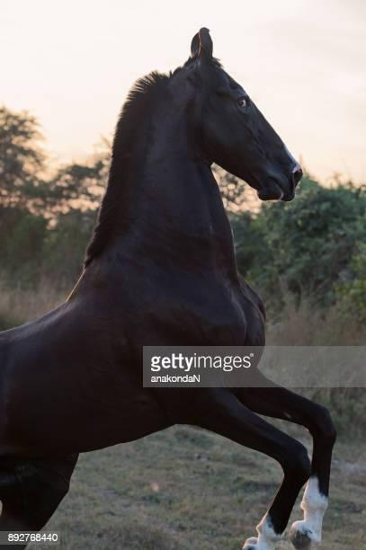 black  Marwari stallion  rearing  at sunset