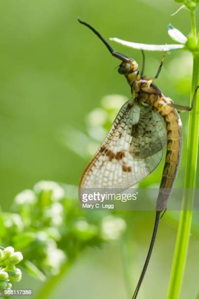 black mayfly, ephemera danica. green drake - mayfly stock pictures, royalty-free photos & images