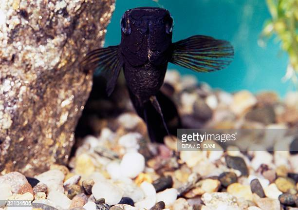 Black molly Poeciliidae in aquarium