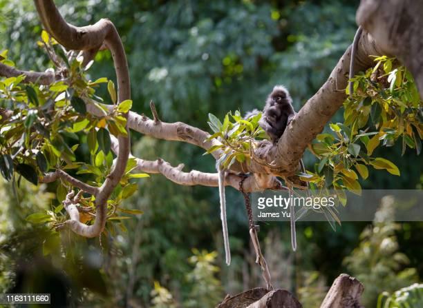 black monkey adelaide zoo - adelaide stock-fotos und bilder