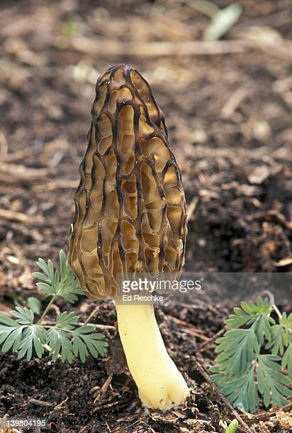 black morel. edible. morchella elata; edibility: choice with caution, often the first morel in spring.  - ed reschke photography stock pictures, royalty-free photos & images