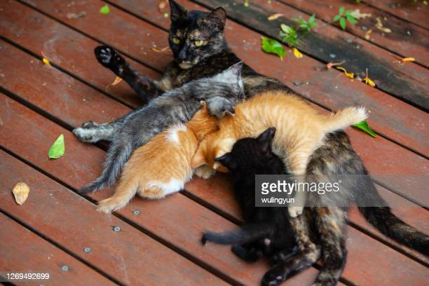 black mther cat feeding her four kittens - kitten stock pictures, royalty-free photos & images