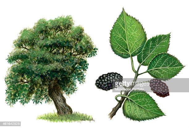 Black mulberry by Giglioli E 20th Century ink and watercolour on paper Whole artwork view Drawing of the plant and the fruits of black mulberry