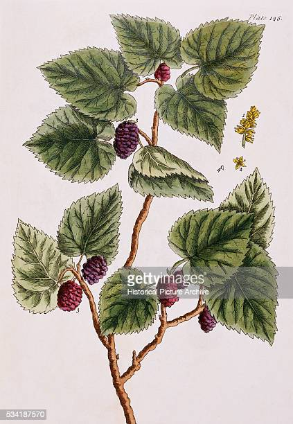 Black Mulberry Tree by Elizabeth Blackwell