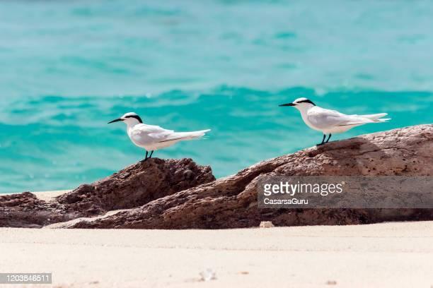 black naped tern - sterna sumatrana bird courting - stock photo - water bird stock pictures, royalty-free photos & images