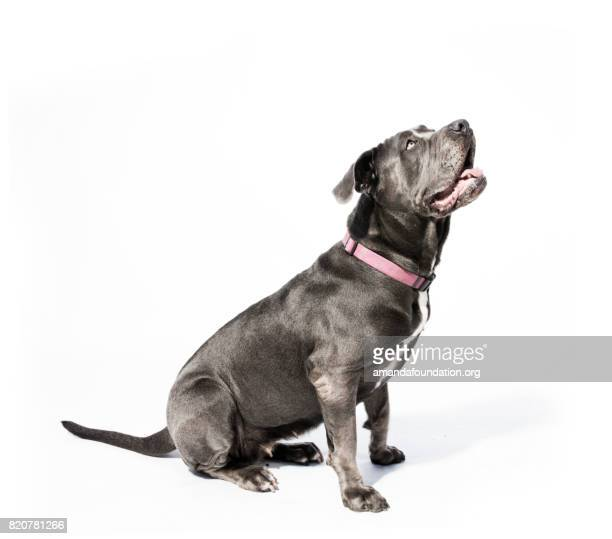 black neapolitan mastiff mix - the amanda collection - amandafoundationcollection stock pictures, royalty-free photos & images