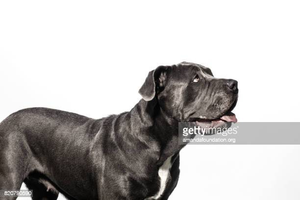 Black Neapolitan Mastiff Mix - The Amanda Collection