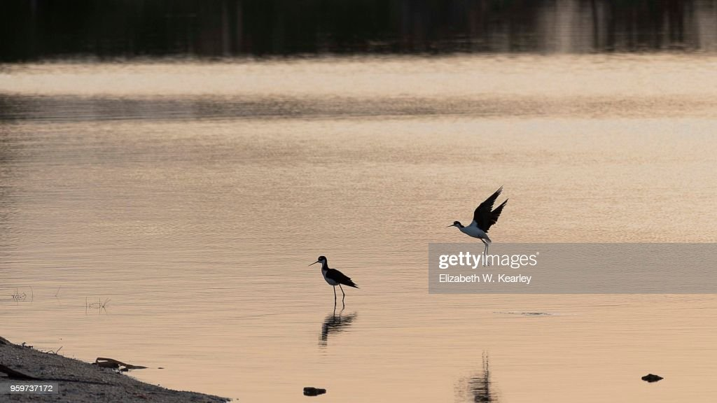 Black Necked Stilts in the Early Morning : Stock-Foto