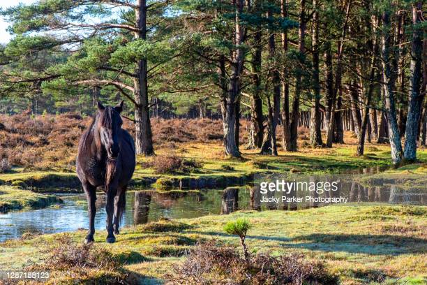 a black new forest pony enjoying the autumn sunshine by a stream - england stock pictures, royalty-free photos & images
